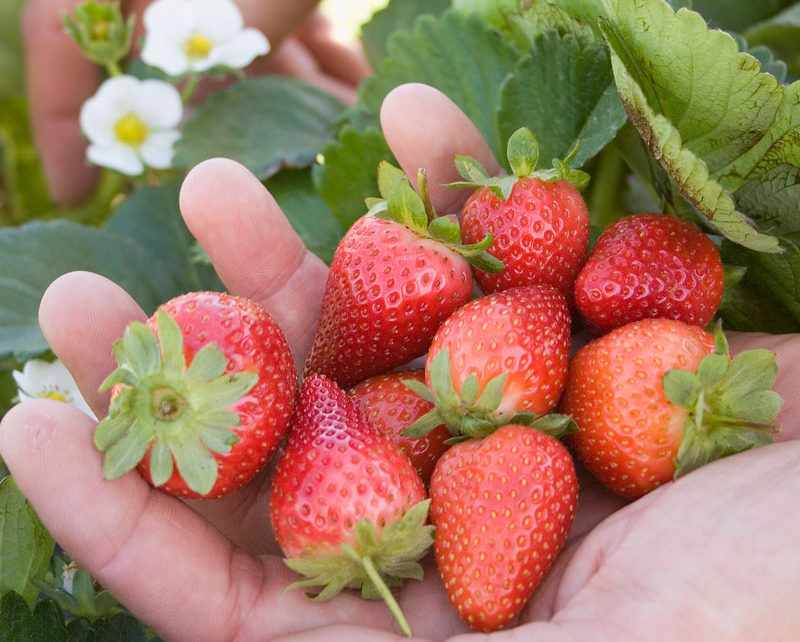 Strawberries - growing strawberries
