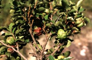 Diospyros whyteana (Bladder Nut)