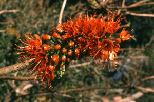 Greyia sutherlandii (Mountain Bottle Brush)