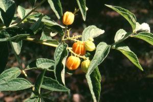 Hoslundia opposita (Orange Bird-berry)