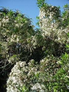 Pavetta lanceolata (Bride's Bush)