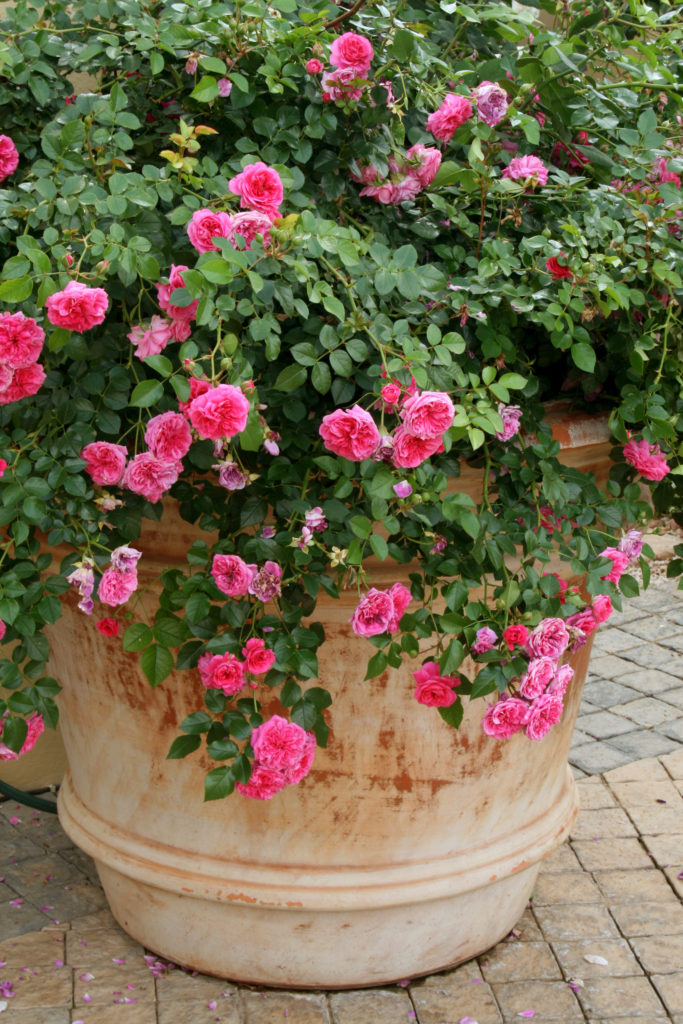 Granny's Delight - roses in containers