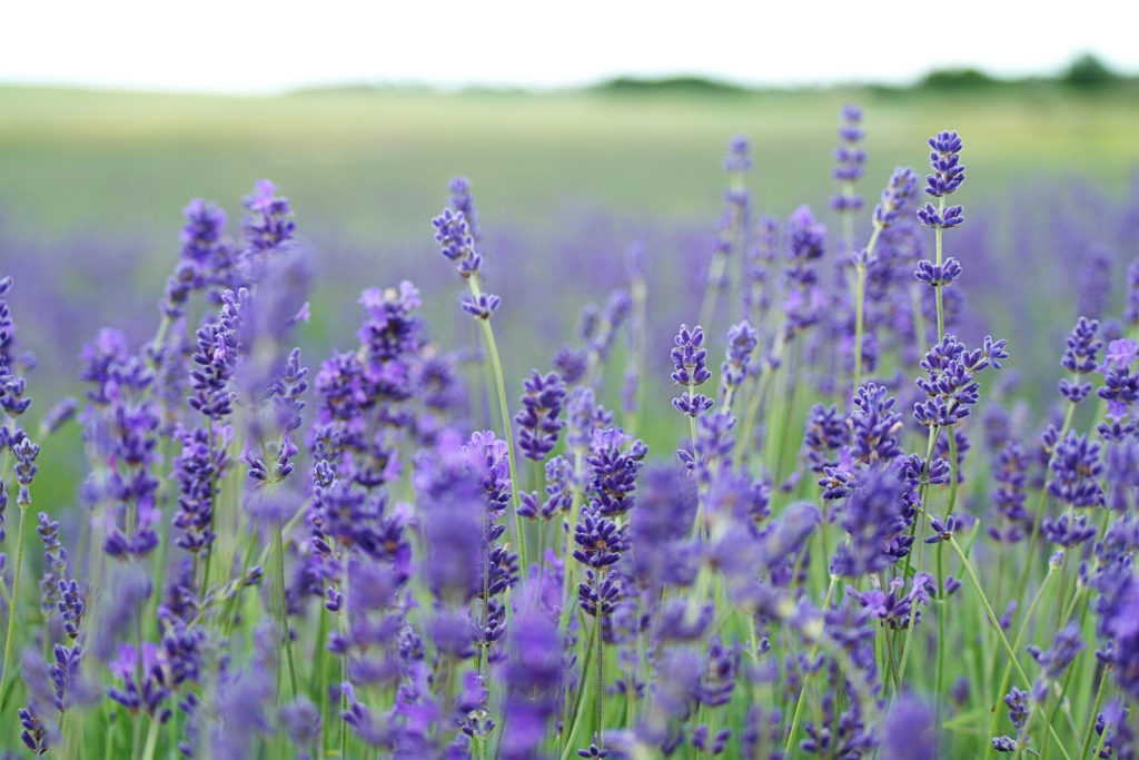 Low-maintenance-lavender