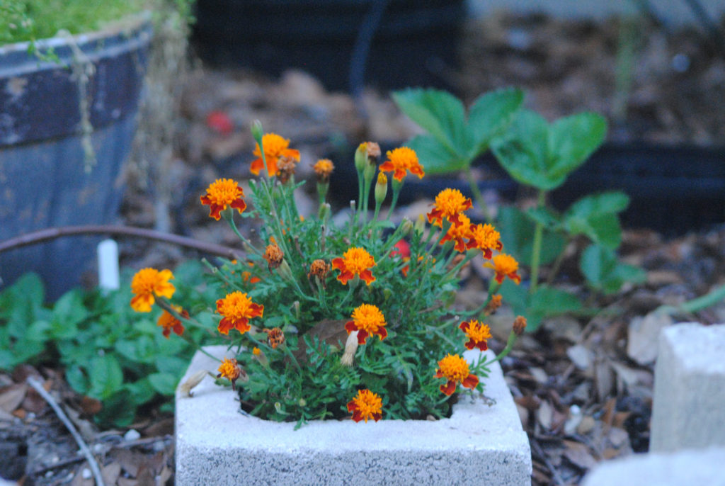 Low-maintenance-marigold