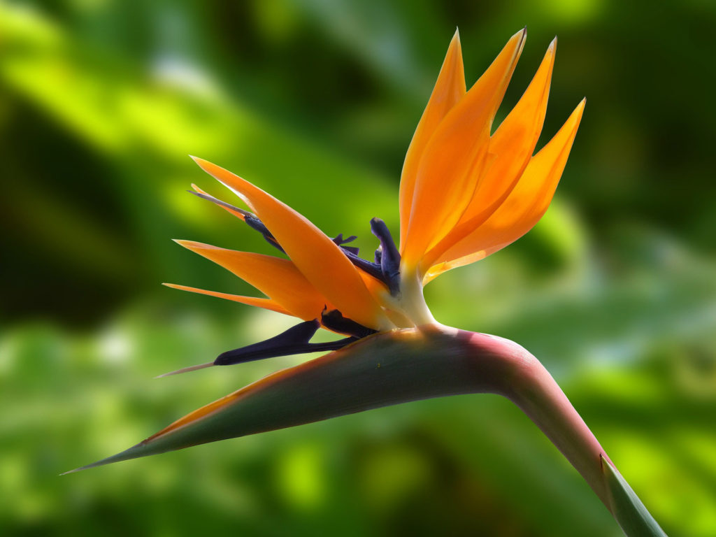 Low-maintenance-strelitzia