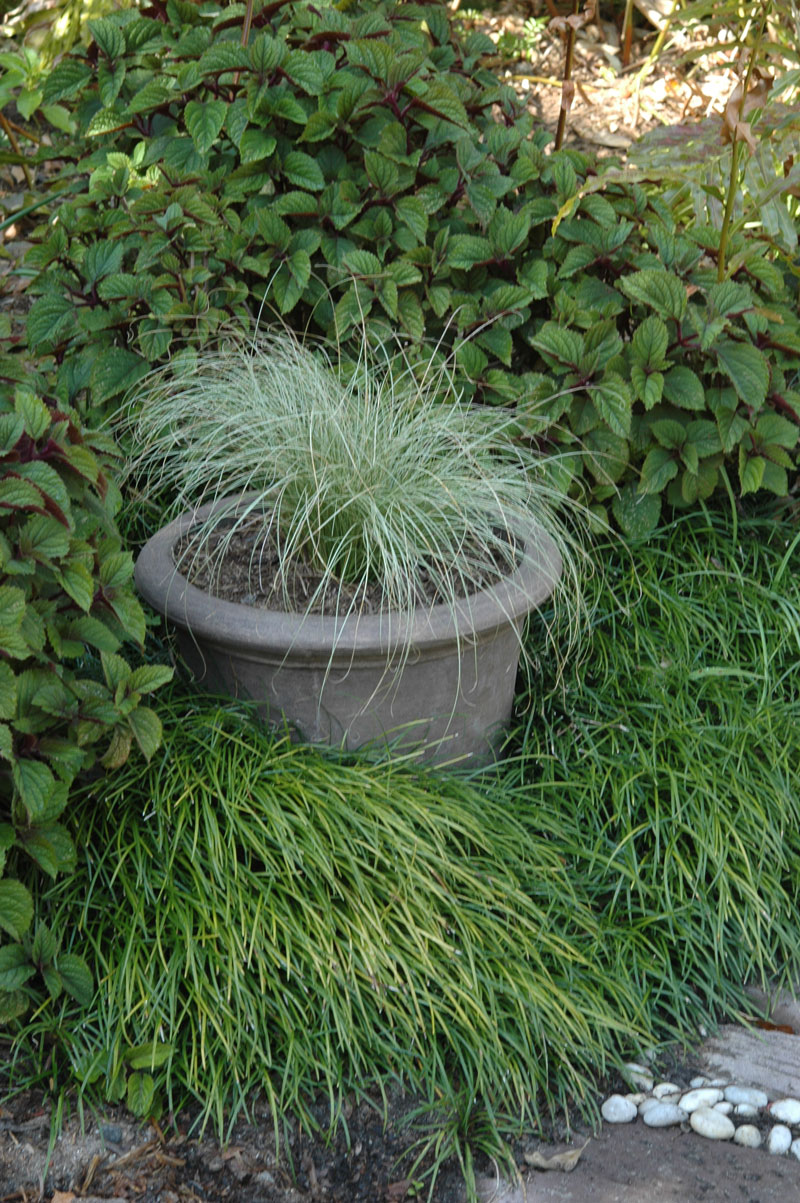 Ornamental grasses sa garden and home for Ornamental grass in containers for privacy