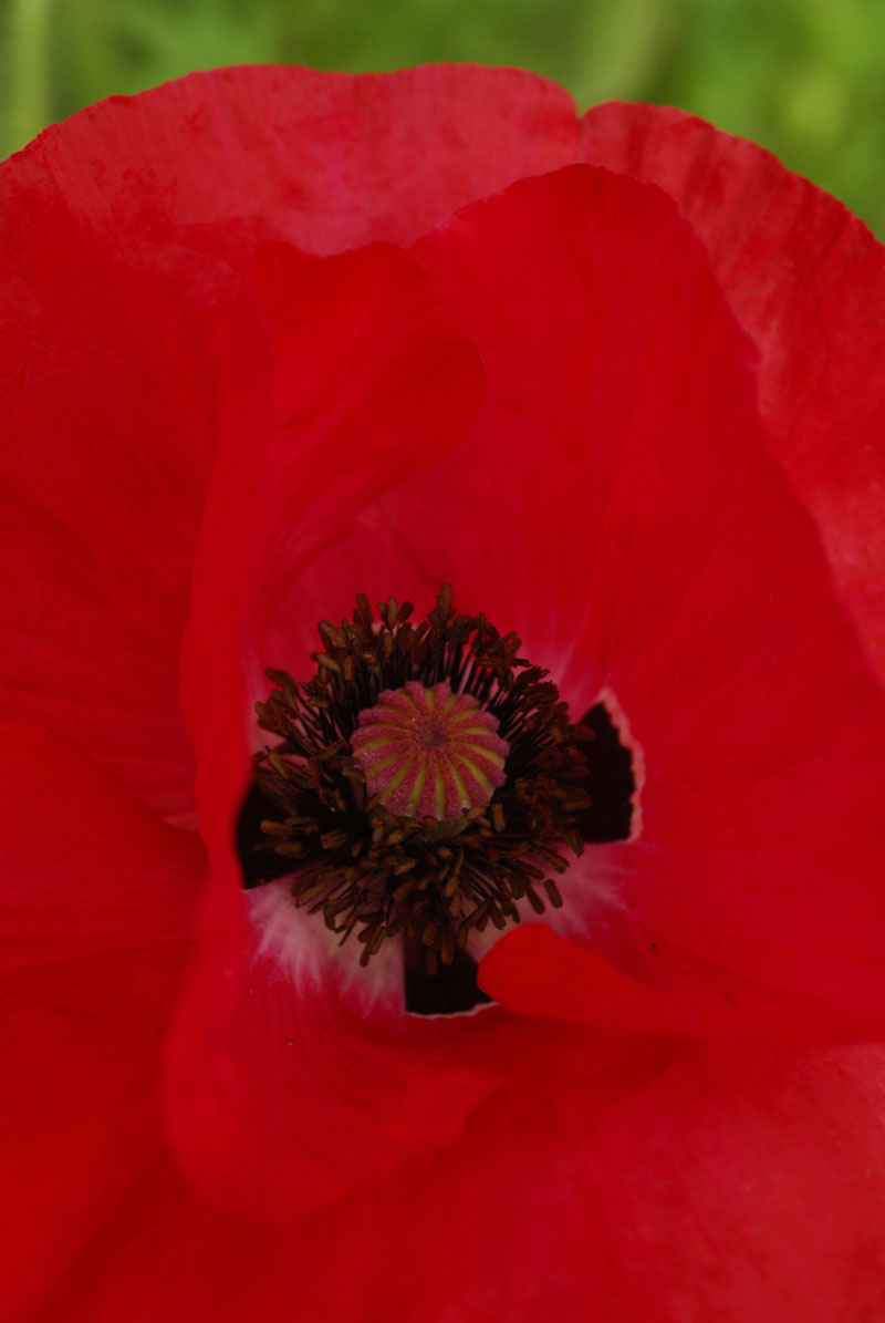 Growing poppies sa garden and home flanders poppies papaver rhoeas mightylinksfo