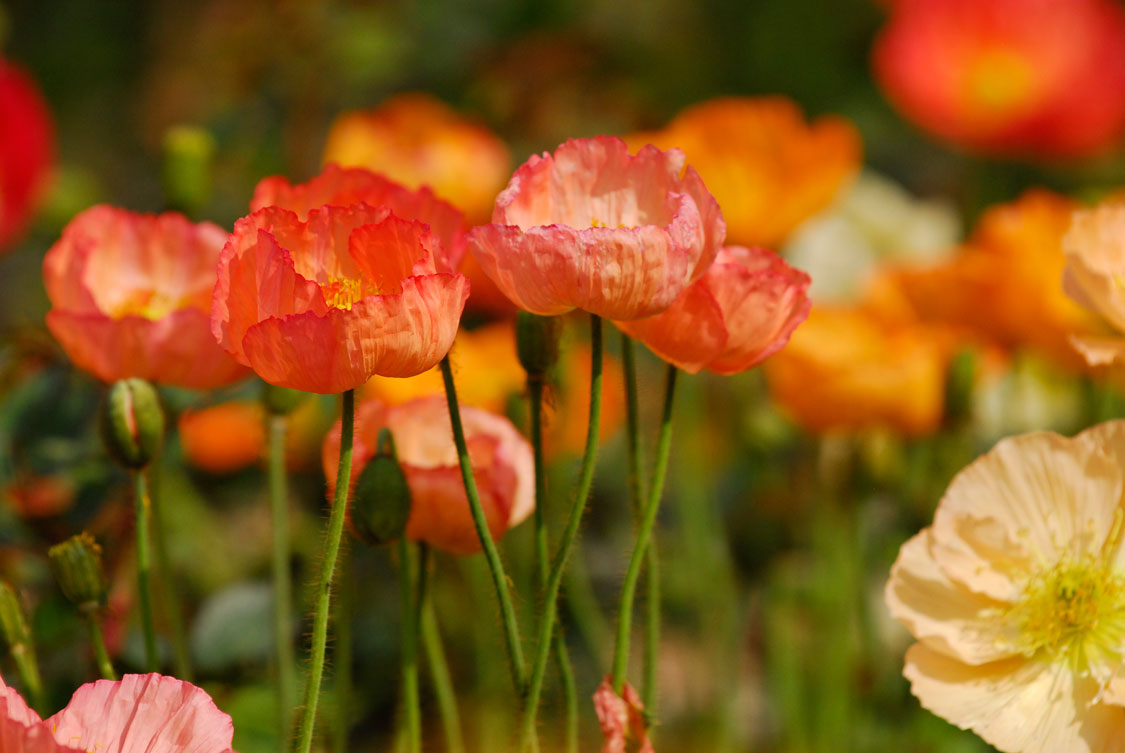 Growing poppies sa garden and home iceland poppy papaver naudicaule dhlflorist Images