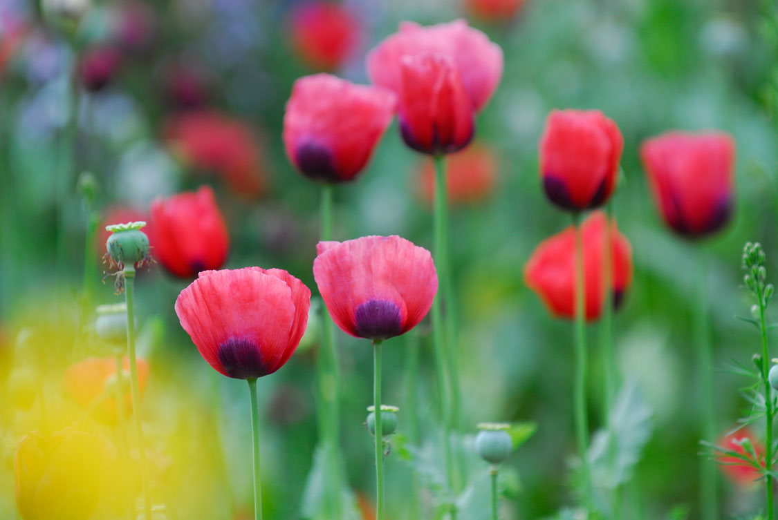 Growing Poppies Sa Garden And Home