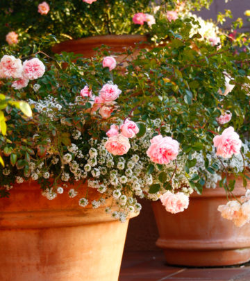 roses-in-containers