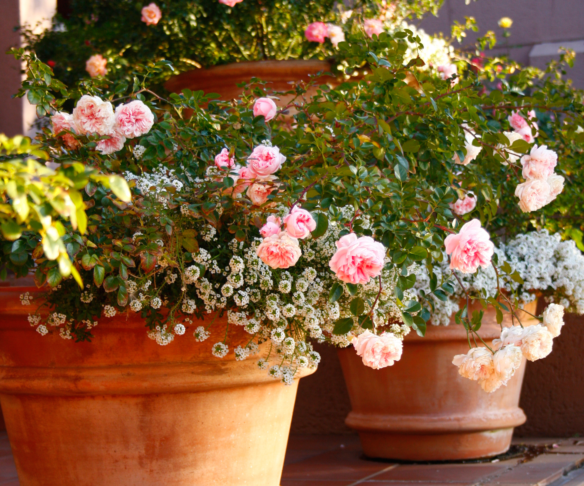 Container Gardening Growing Roses Garden Home