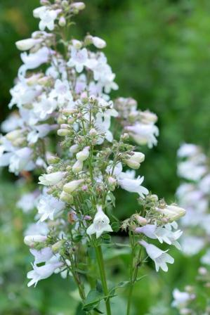 penstemon-digitalis-alba