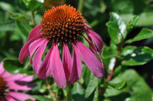 CONE FLOWER OR PINK RUDBECKIA (ECHINACEA PURPUREA)