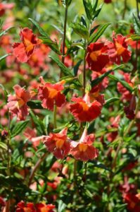 MONKEY FLOWER (MIMULUS AURANTIACUS SYN. DIPLACUS GLUTINOSUS)
