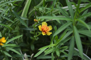 terragon flower