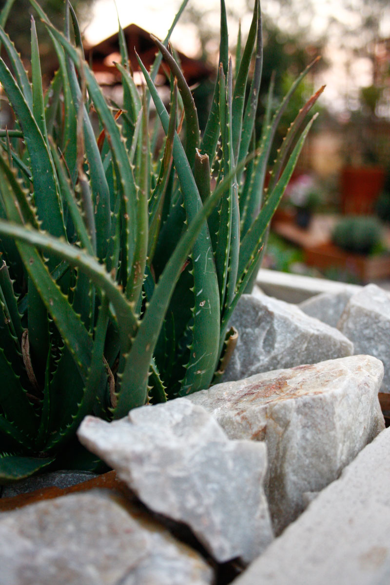 The fleshy leaves of the aloes emphasise the rustic look of the garden.