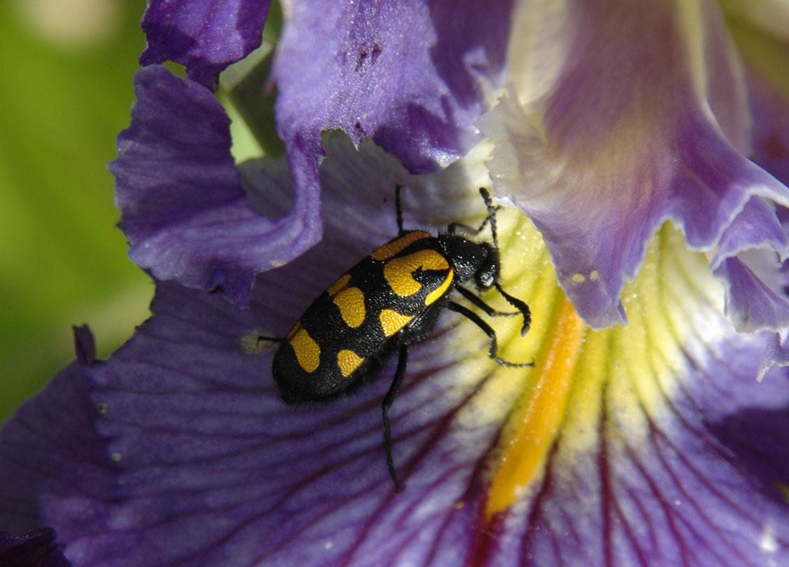 blister beetles