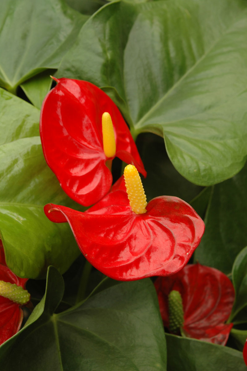 FLAMINGO LILY (Anthurium spp.) -- tropical plants SA Garden and Home