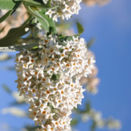 BUDDLEIA AURICULATA (WEEPING SAGE) -- shrubs