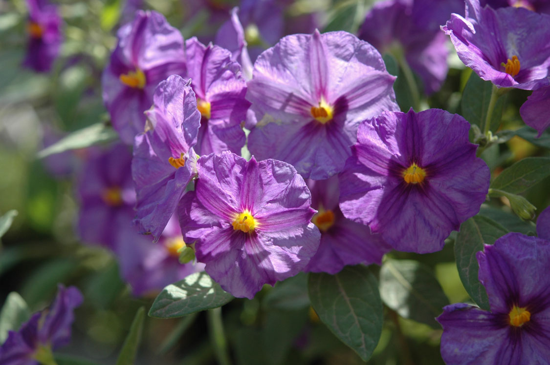 SOLANUM RANTONNETII (BLUE POTATO BUSH) -- shrubs