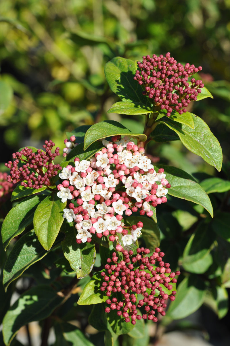7 Shrubs Ideal For Small Gardens Sa Garden And Home