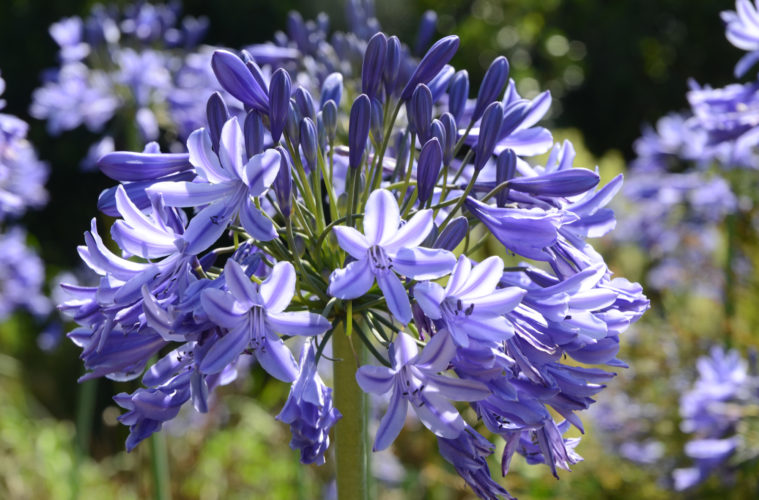 How To Divide Agapanthus Sa Garden And Home