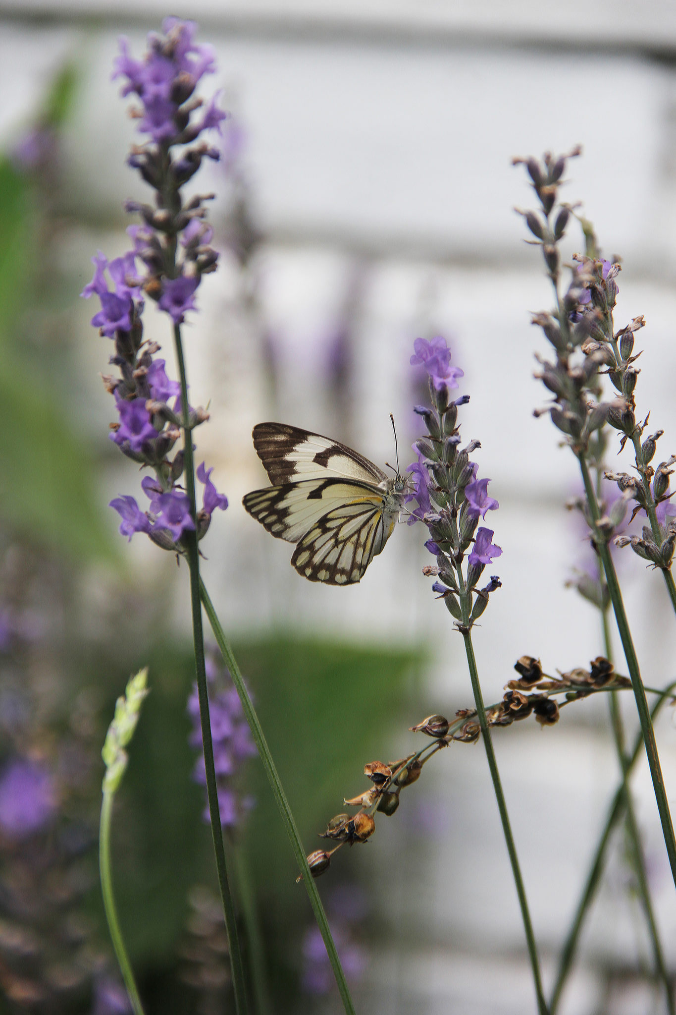 Lavender Varieties We Love Sa Garden And Home