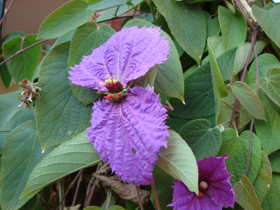 Six Unusual Flowering Climbers Sa Garden And Home