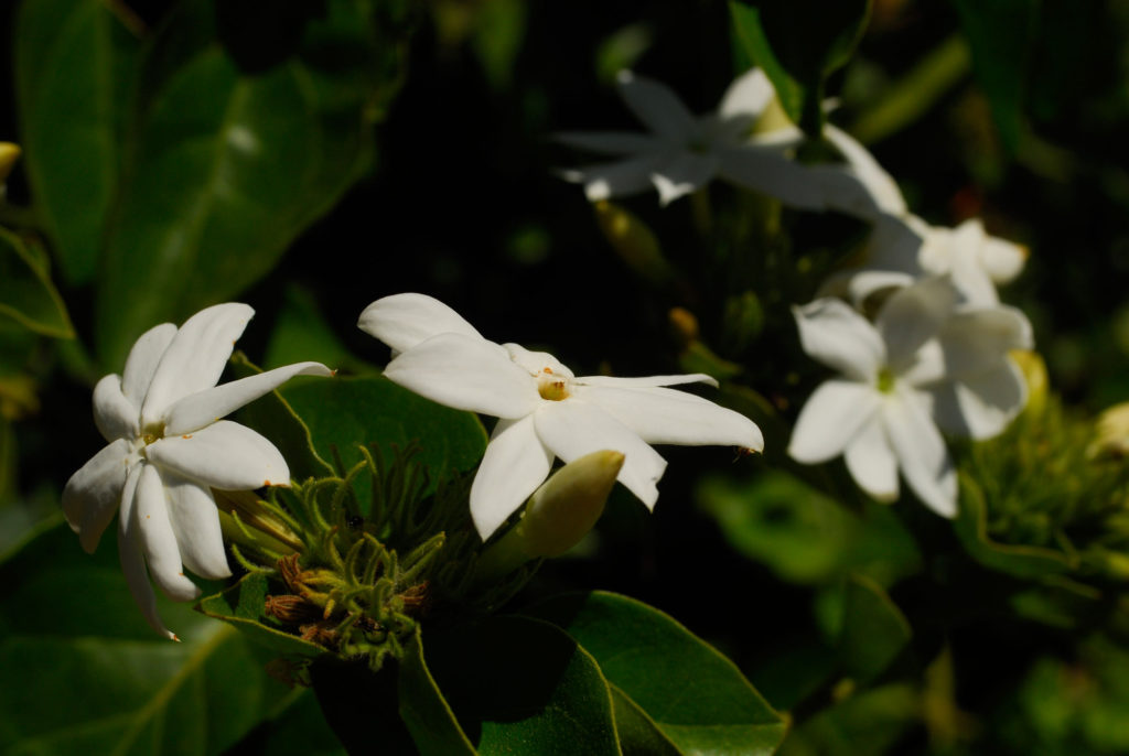 GROWING JASMINE - WINTER FLOWERING