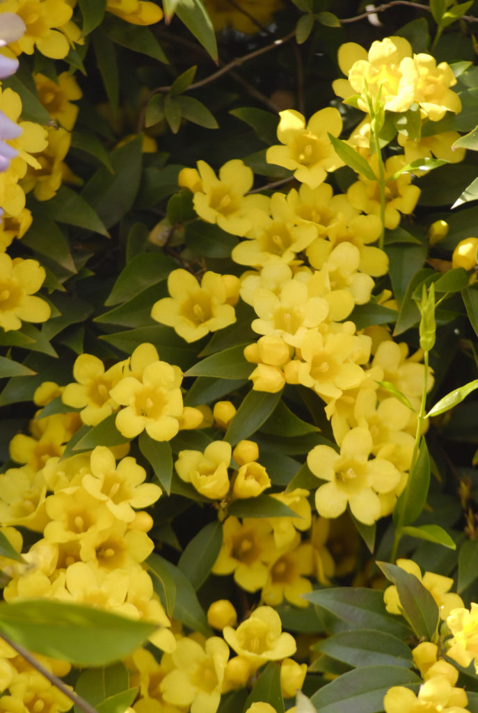 GROWING JASMINE - YELLOW