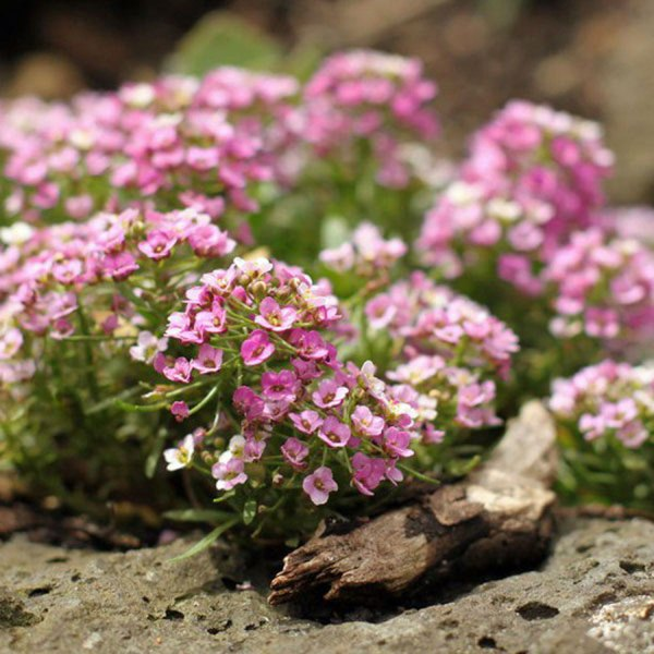 Lobularia maritime 'Rosie O'Day' - how to grow alyssum