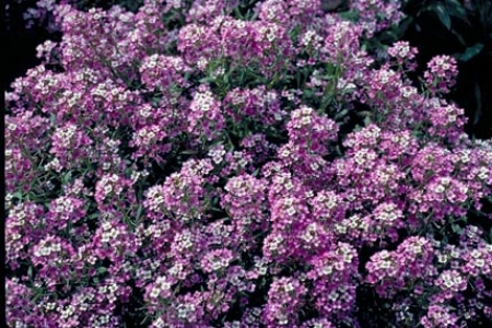 Lobularia maritime 'Royal Carpet' - how to grow alyssum