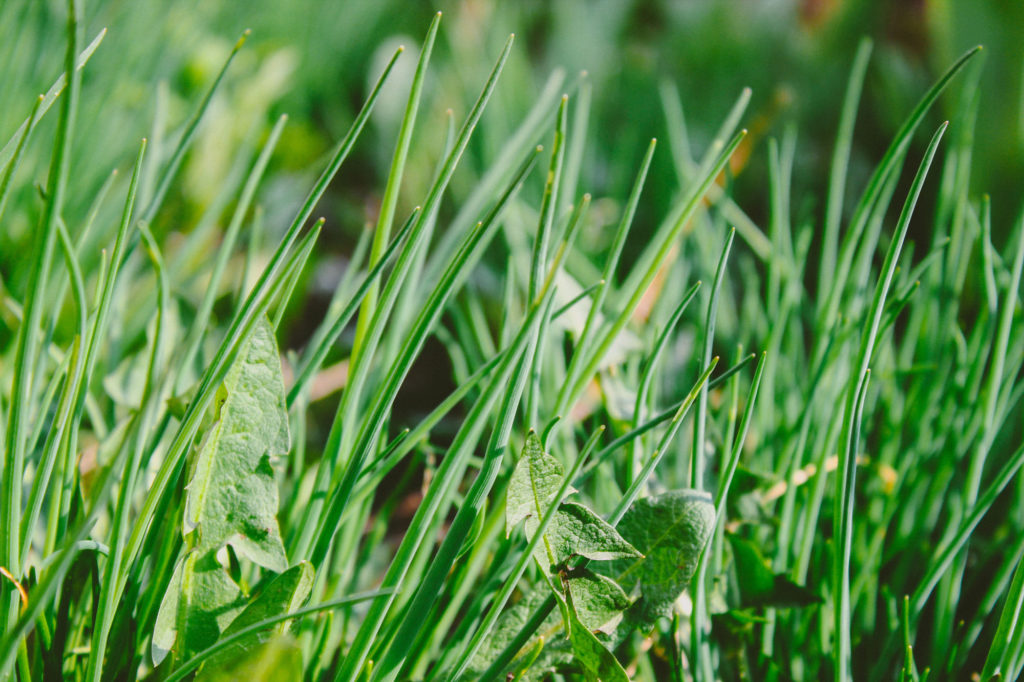 how to get rid of weeds in lawn south africa