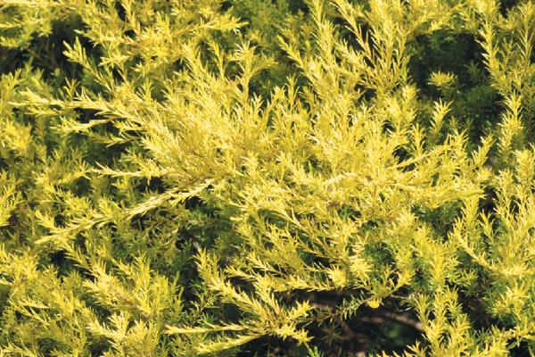 COLEONEMA PULCHELLUM 'SUNSET GOLD' (GOLDEN CONFETTI BUSH)