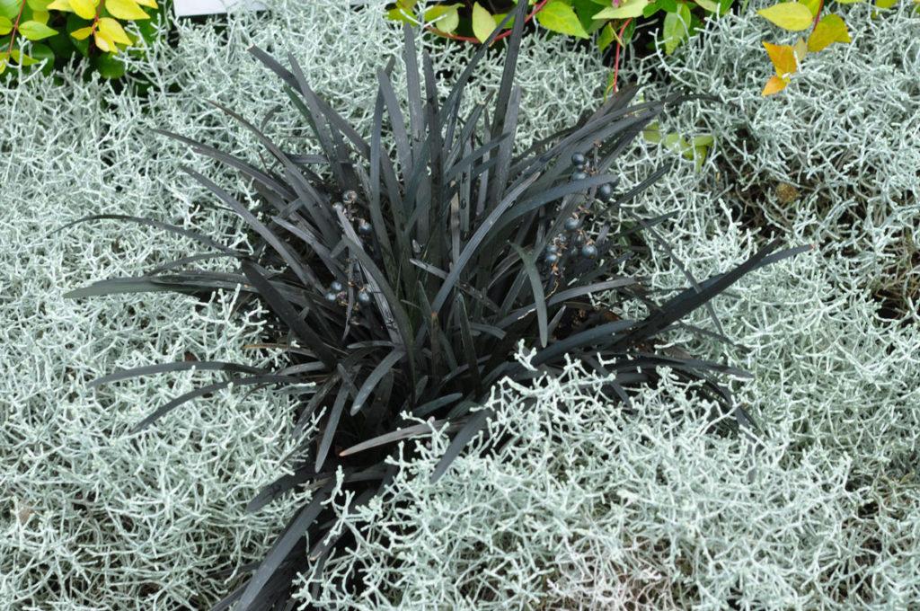 BLACK MONDO GRASS (OPHIOPOGON PLANISCAPUS)