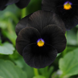 Landscaping with black plants