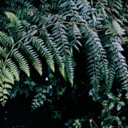 FERNS: GROWING TIPS