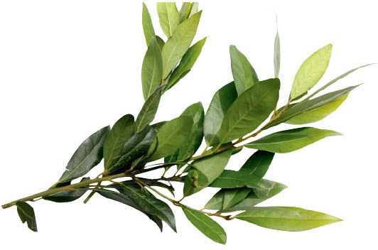 bay-laurus-nobilis