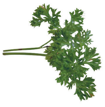 parsley-petroselinum-crispum