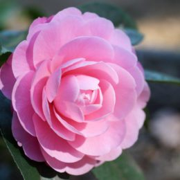 All you need to know about growing camellias