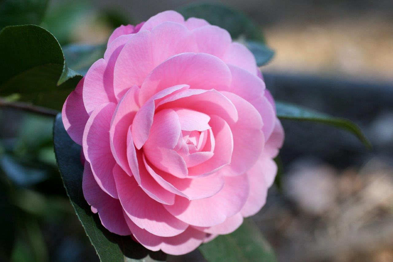 All You Need To Know About Growing Camellias Sa Garden
