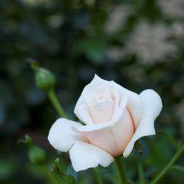 Rose care guide: October