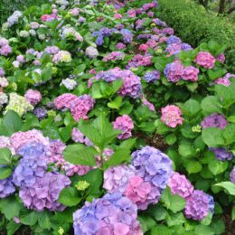 How to: Propagate hydrangeas