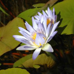 Container gardening: Potting water lilies