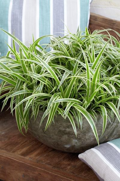 air purifying indoor plants - spider plants