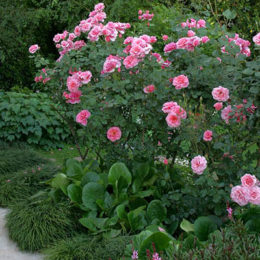 Rose care guide: August