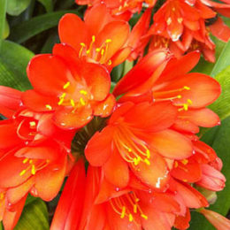 Grow beautiful clivias this spring