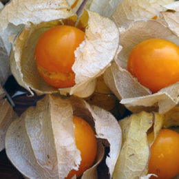 Growing Cape gooseberries