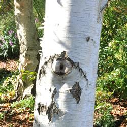 Five trees with beautiful bark