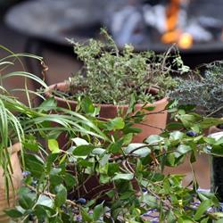 Herbs ideal for the braai area